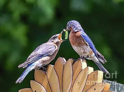 Eastern Bluebirds Expressing True Love by Cindy Treger