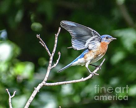Eastern Bluebirds Lovely Wings by Cindy Treger