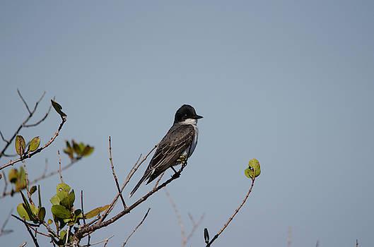 Eastern Kingbird by James Petersen
