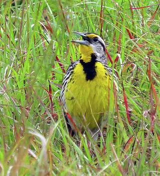 Eastern Meadowlark by Lea Cox
