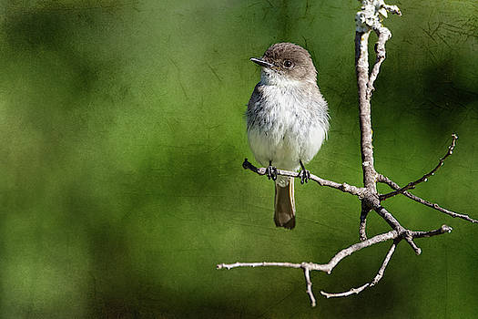 Eastern Phoebe Textured Background by Debra Martz