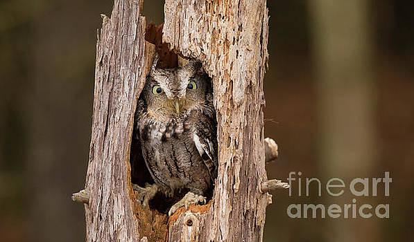 Eastern Screech Owl In A Tree by CJ Park