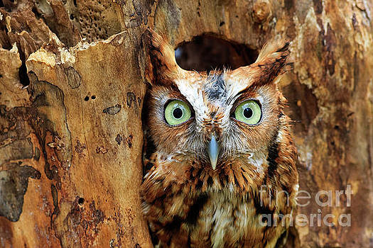 Jill Lang - Eastern Screech Owl Perched in a Hole in a Tree