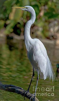 Egret 8315a by Debra Kewley