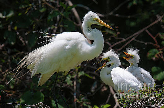 Egret Chicks by Dale Powell