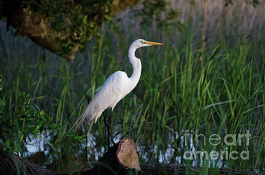 Dale Powell - Egret - Marsh Fishing