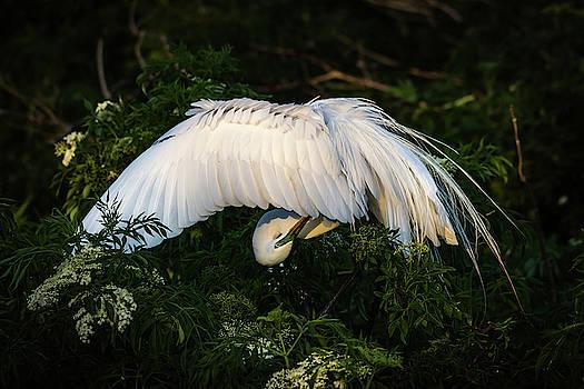 Egret Preening by Jeffrey Klug
