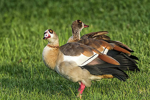 Egyptian Geese Which way did he go? by Darrell Gregg