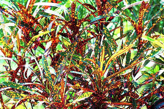 El Valle Croton Colors by Jackson Ball