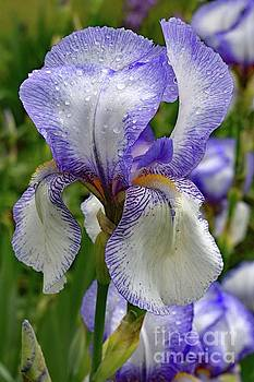 Elegant Bearded Iris After A Shower by Cindy Treger