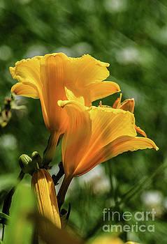 Elegant Daylilies by Cindy Treger