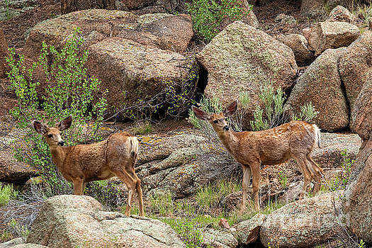 Eleven Mile Canyon Deer by Steve Krull