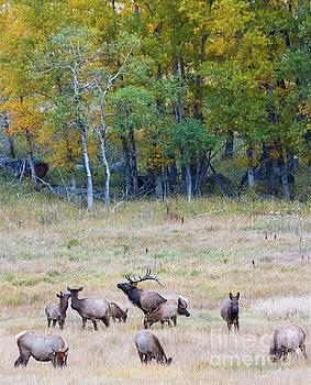 Steve Krull - Elk Herd and Aspen