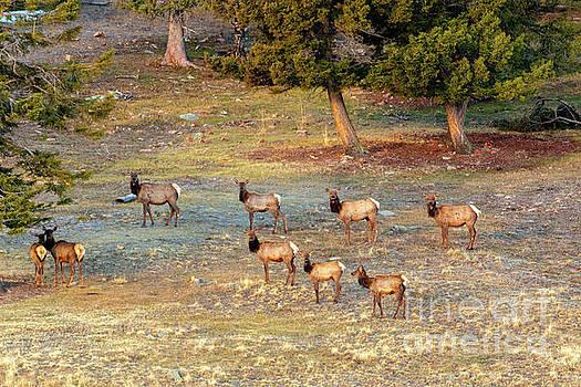 Steve Krull - Elk Herd in a High Meadow
