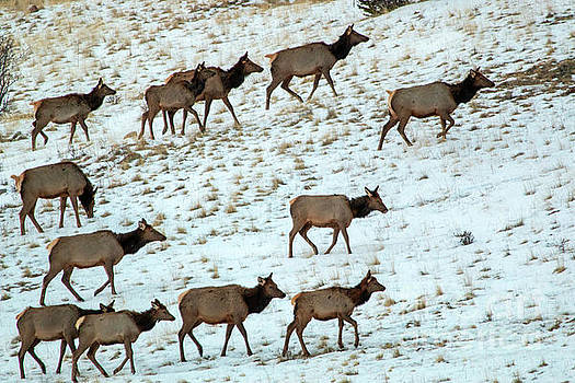 Steve Krull - Elk Herd on a Winter Morning