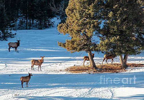 Elk Herd Resting in Snow by Steve Krull