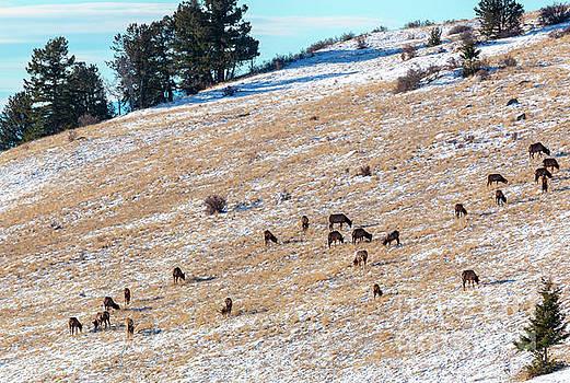 Elk Herd Resting by Steve Krull
