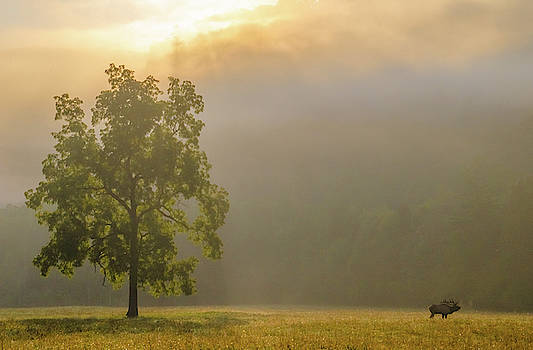 Elk on a Foggy Morning in the Great Smoky Mountains Park by Ina Kratzsch