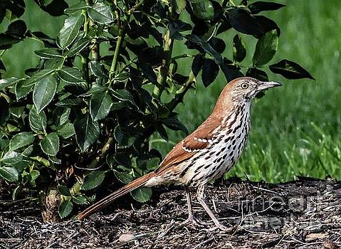 Elusive Brown Thrasher by Cindy Treger