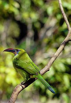 Emerald toucanet by Eugenio Opitz