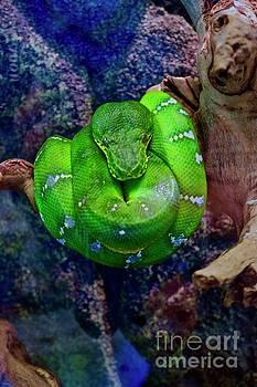 Emerald Tree Boa by Craig Wood