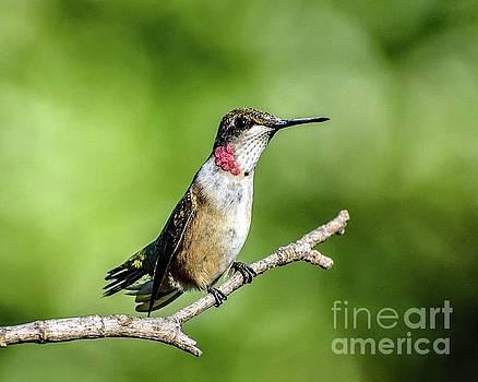 Cindy Treger - Enchanting Ruby-throated Hummingbird