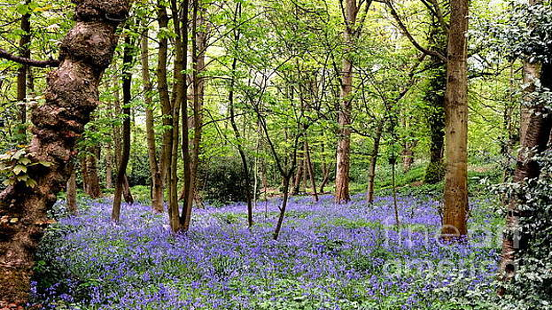 English Bluebell Wood by John Chatterley