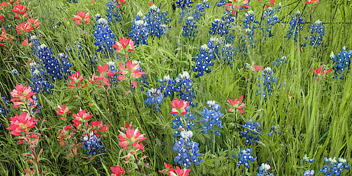 Ennis Texas Bluebonnet Trail Colorful Nature Panorama by Gregory Ballos