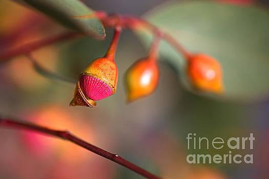 Eucalyptus Buds and Flower  by Joy Watson