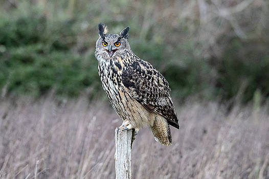 Mark Hunter - Eurasian Eagle Owl at rest on a post