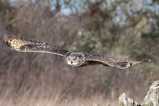 Mark Hunter - Eurasian Eagle Owl Gliding