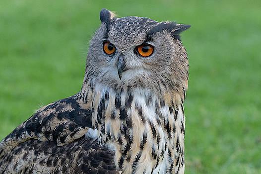 Mark Hunter - Eurasian Eagle Owl Portrait