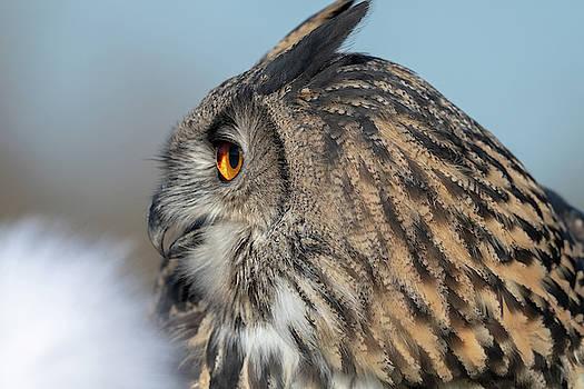 Mark Hunter - Eurasian Eagle Owl Profile