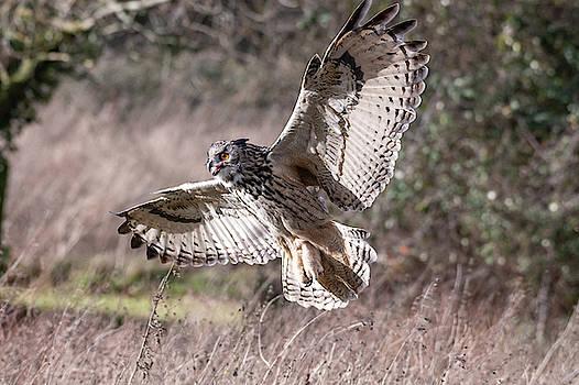 Mark Hunter - Eurasian Eagle Owl with Open Wings