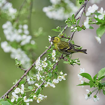 Eurasian Siskin and cherry flowers by Jouko Lehto
