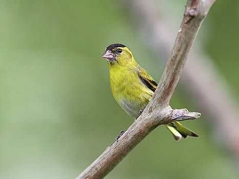 Eurasian Siskin The bold and yellow by Jouko Lehto