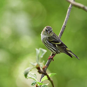 Eurasian Siskin The Young One with bokeh balls by Jouko Lehto