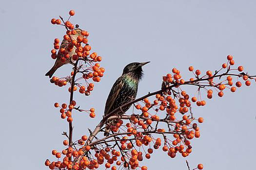 European starling  by Gerald Salamone