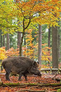 Arterra Picture Library - European Wild Boar