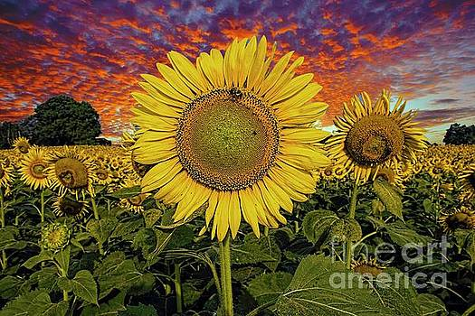 Evening with the Sunflowers by Geraldine DeBoer