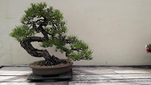 Evergreen Bonsai by John Eric Goines