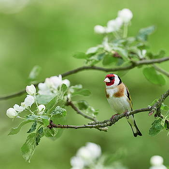 Everybody loves flowers. Goldfinch and apple flowers by Jouko Lehto