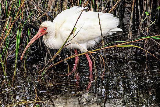Excited White Ibis by Debra Martz