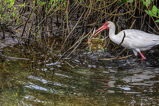 Excited White Ibis Snags Its Blue Crab by Debra Martz