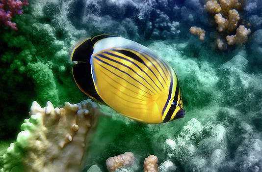 Johanna Hurmerinta - Exquisite Butterflyfish CloseUp Colorfully