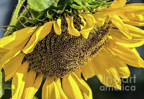 Cindy Treger - Exquisite Sunflower