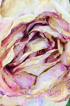 Faded Rose by Carol Groenen