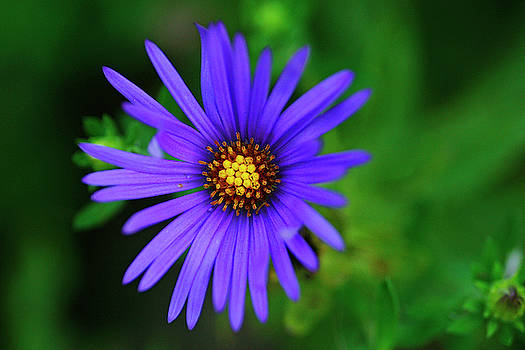 Fall Aster by Bill Morgenstern