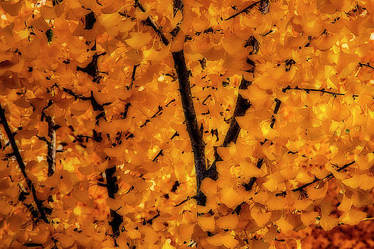 Fall Ginko Trees by Garry Gay