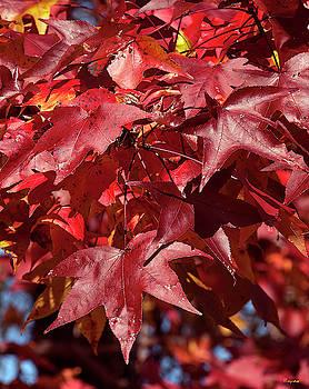 Fall Sweetgum Leaves DF005 by Gerry Gantt